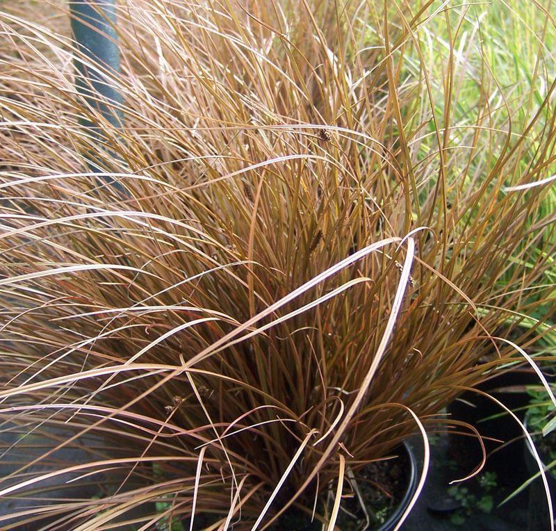 Carex Bronze Reflection   masion.notivity.co