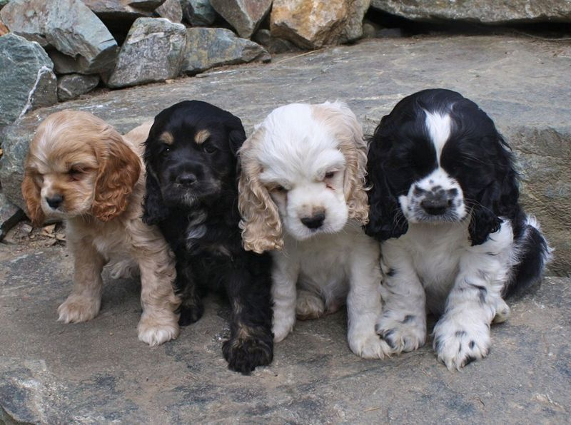 Adorable Set Of Four Cocker Spaniel Puppies In Different Color Variations Cocker Spaniel Puppies Puppies Spaniel Puppies
