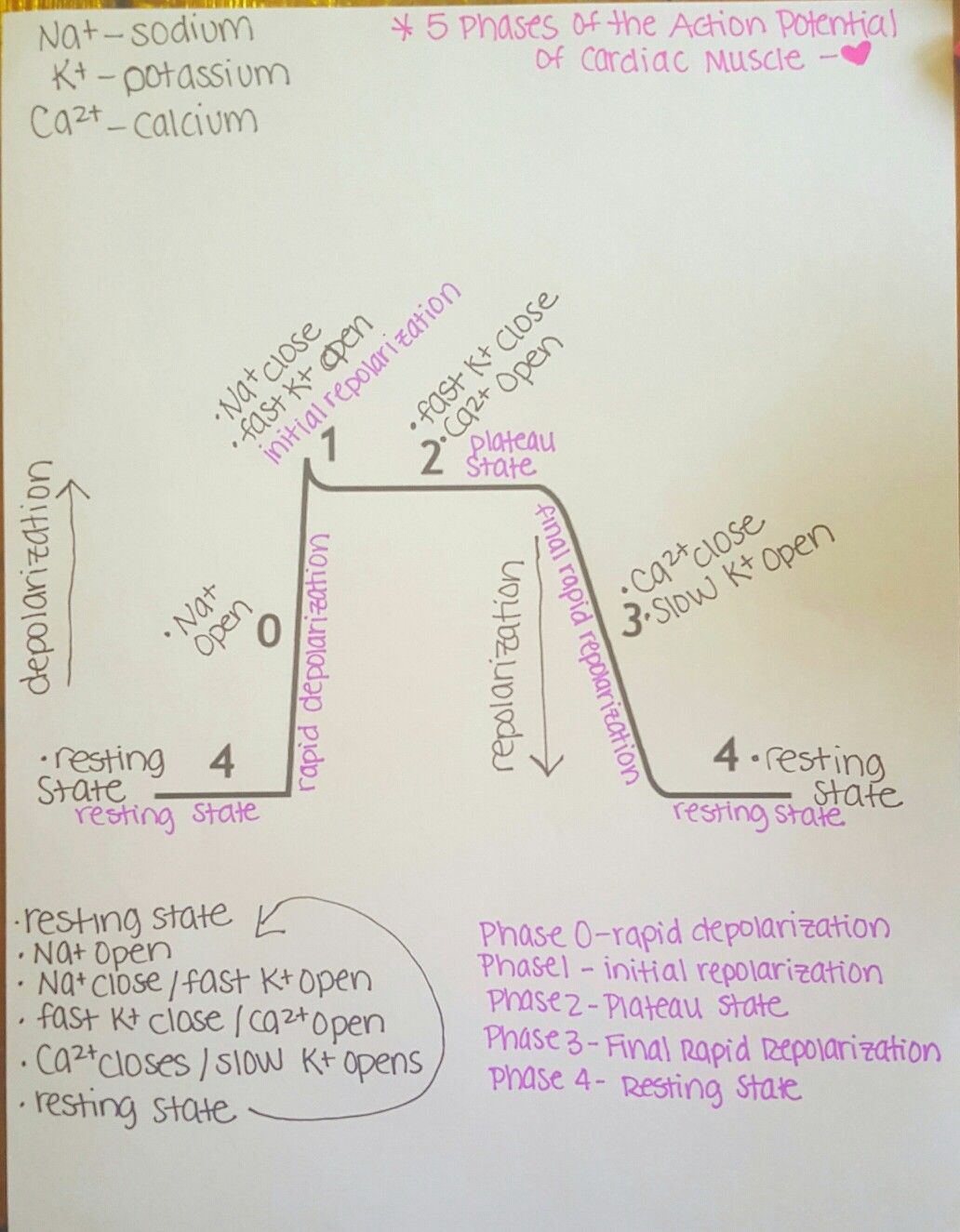 5 phases of the action potential of cardiac muscle step by step 5 phases of the action potential of cardiac muscle step by step ccuart Image collections
