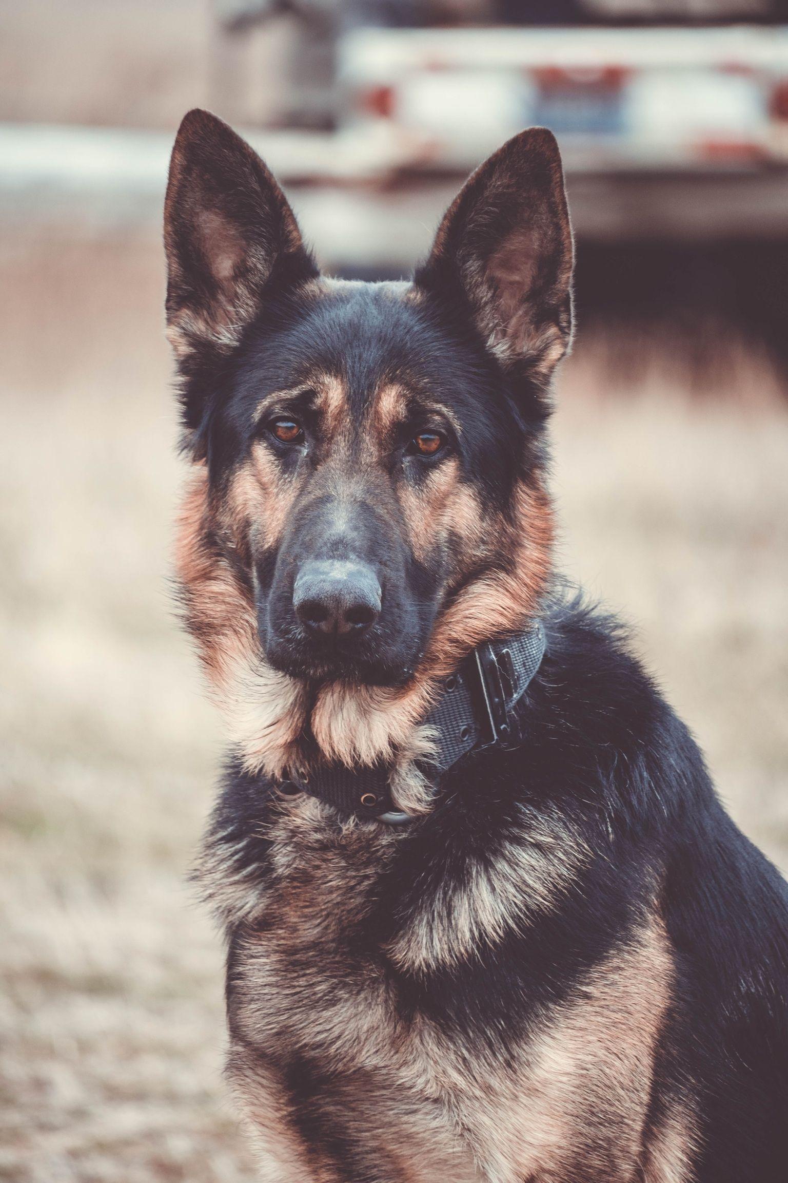 Pin by janis afonso on german shepherds pinterest dogs german
