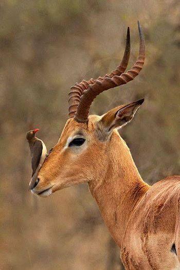 Ox pecker and gazelle