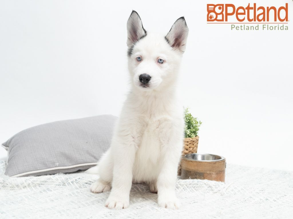 Petland Florida Has Siberian Husky Puppies For Sale Check Out All Our Available Puppies Siberianhusky Petlandplantation Petland Husky Puppies For Sale Siberian Husky Puppies Dog Lovers