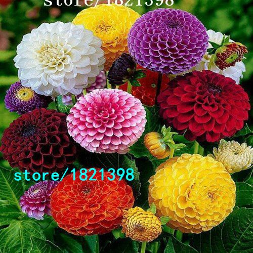 200 Mixed Zinnia Seeds Pretty Pastel Colors Flower Seeds Free Shipping
