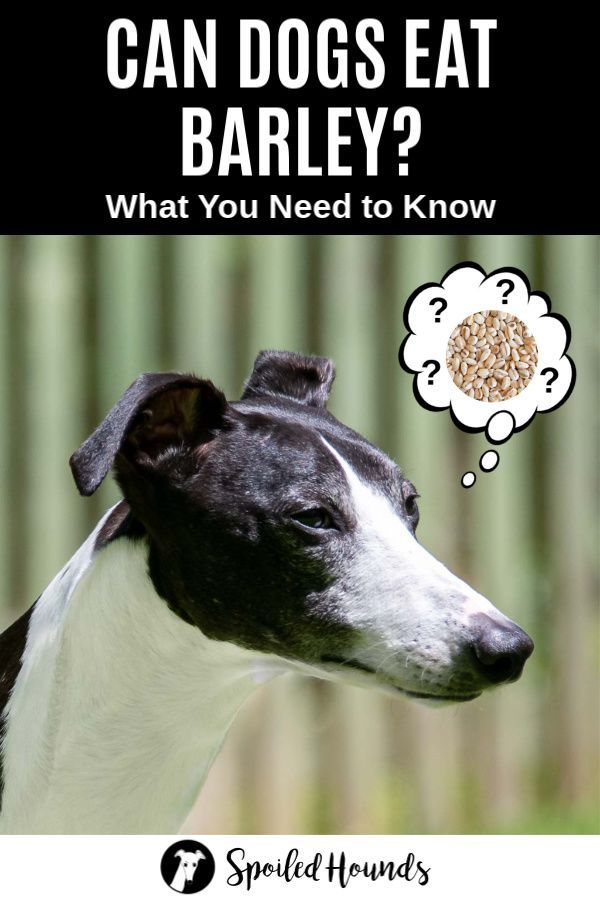 Can Dogs Eat Barley What To Know About Dogs And Barley In 2020 Can Dogs Eat Dog Eating Dogs