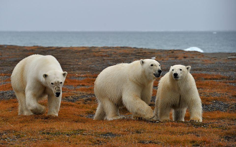 SERGEY GORSHKOV- Russian Arctic. Wrangel Island. Three Bears.