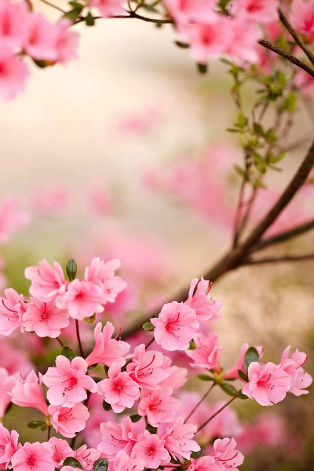 Spring Flowers Iphone Wallpaper Hd Azalea Flower Spring Flowers Wallpaper Flower Wallpaper
