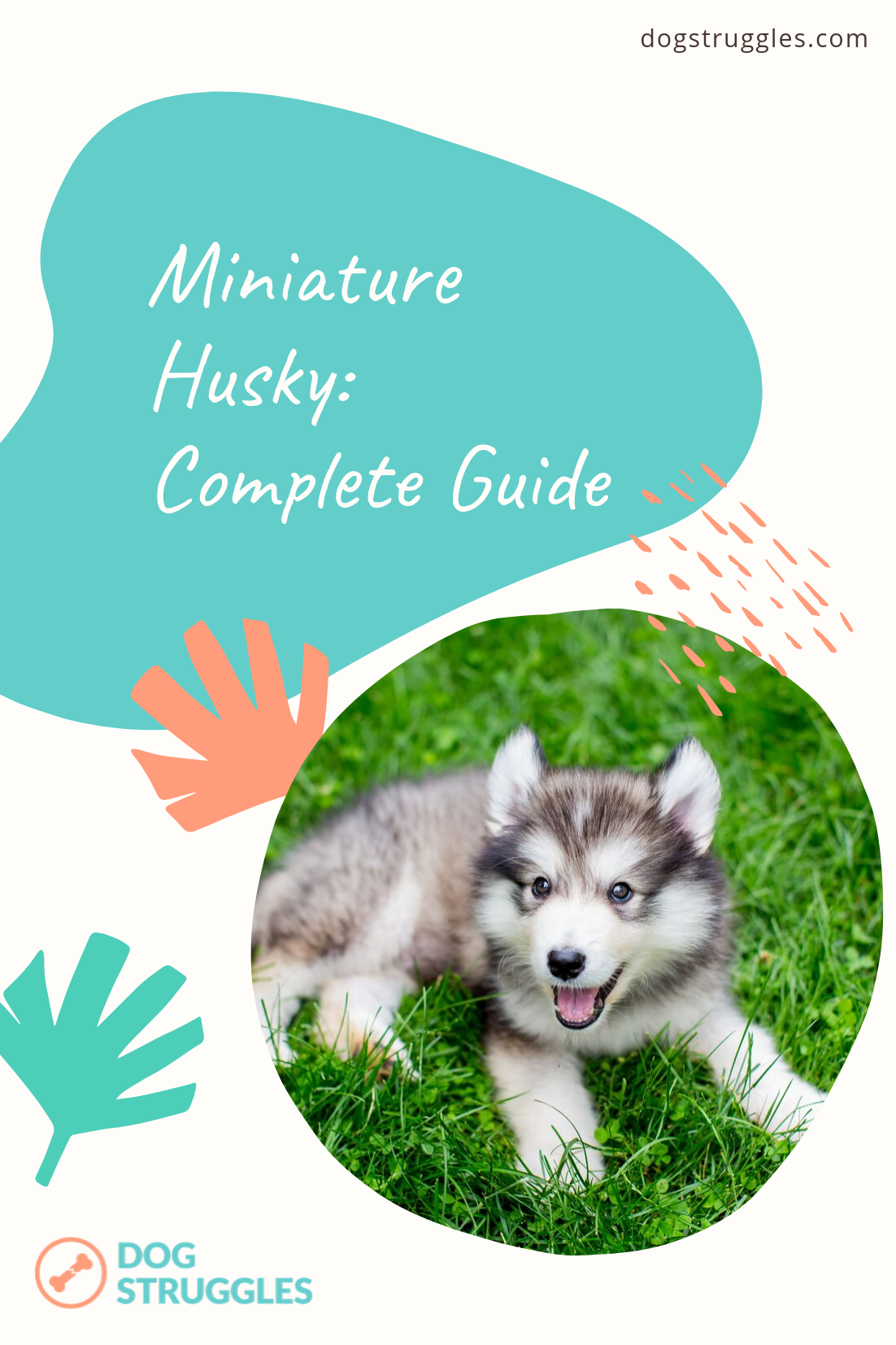 Miniature Husky Complete Guide Cute quirky and with 100 canine characteristics nothing lap dogish about this breed the miniature Husky is a small package with a big perso...