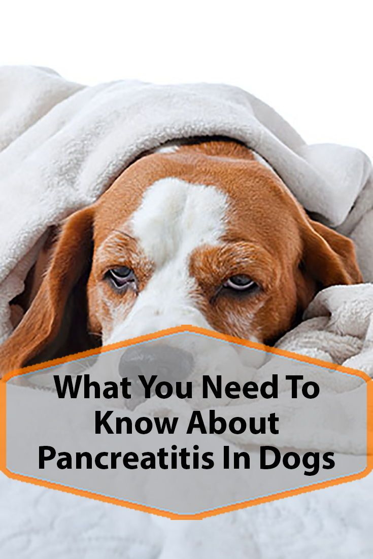 Dogs and pancreatitis with images pancreatitis in dogs