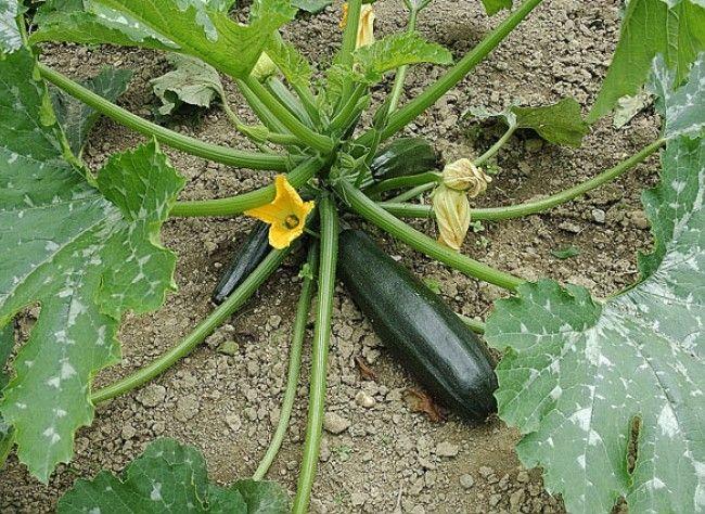 Planter la carotte en pot ou jardinière Potager, Jardin