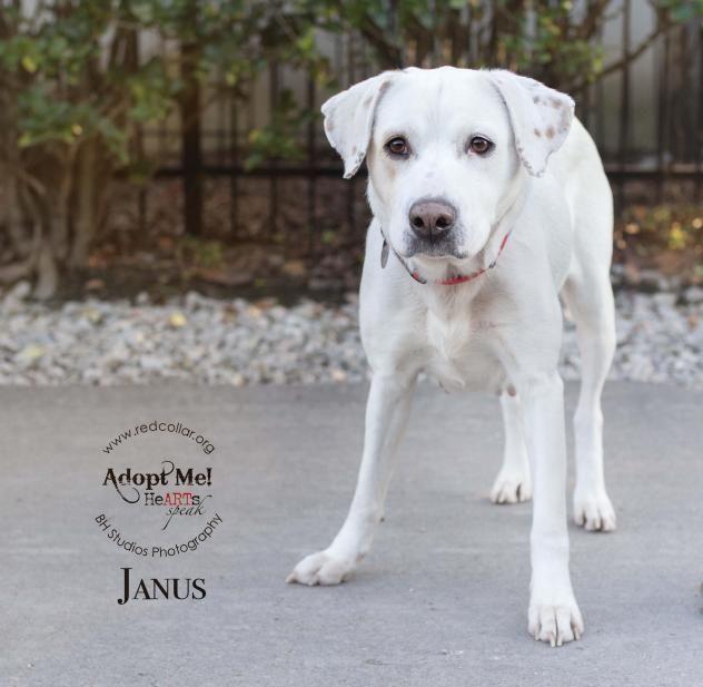 Adopt Janus On Labrador Retriever Labrador Adoption
