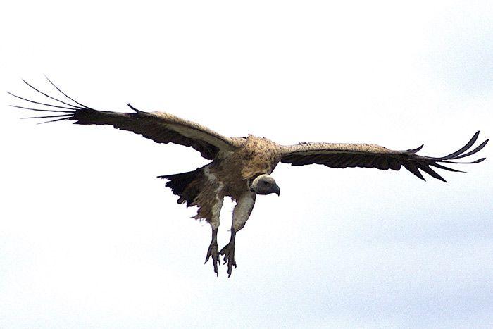 Vulture Flying | Vulture culture, Vulture, Andean condor