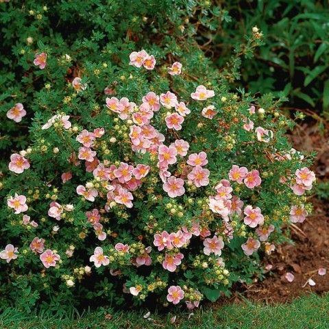 potentilla pink beauty evergreen side hedge Gardens Outdoor