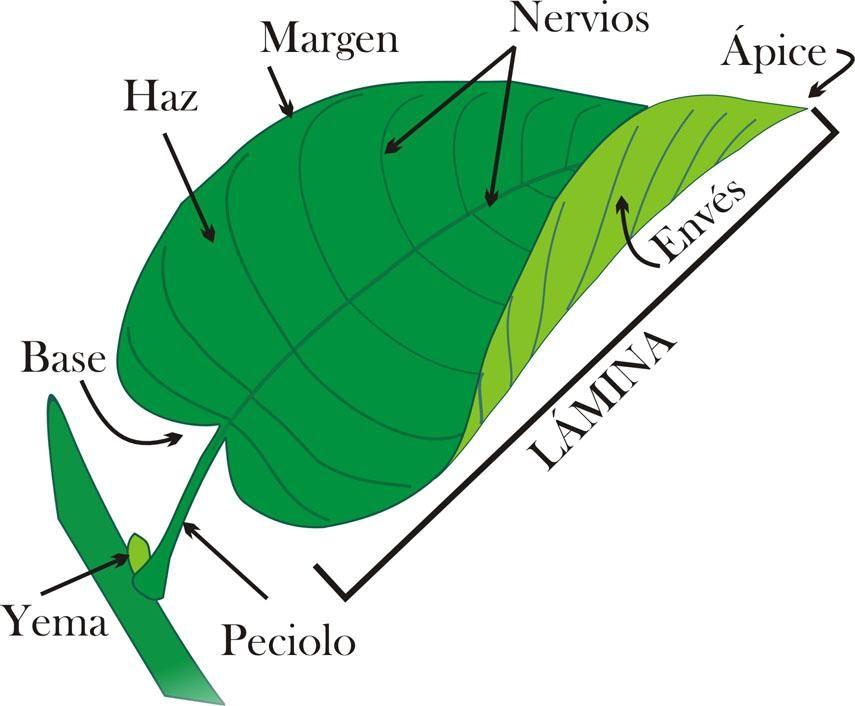 Lección 6 Partes Y Tipos De Hoja Formas De Lámina ápices Y Hojas Partes De La Planta Partes De La Misa Plantas
