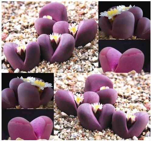 50+ LITHOPS OPTICA Species Mix Seeds #houseplant