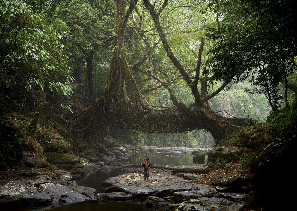 인도의 살아있는 나무로 만든 다리
