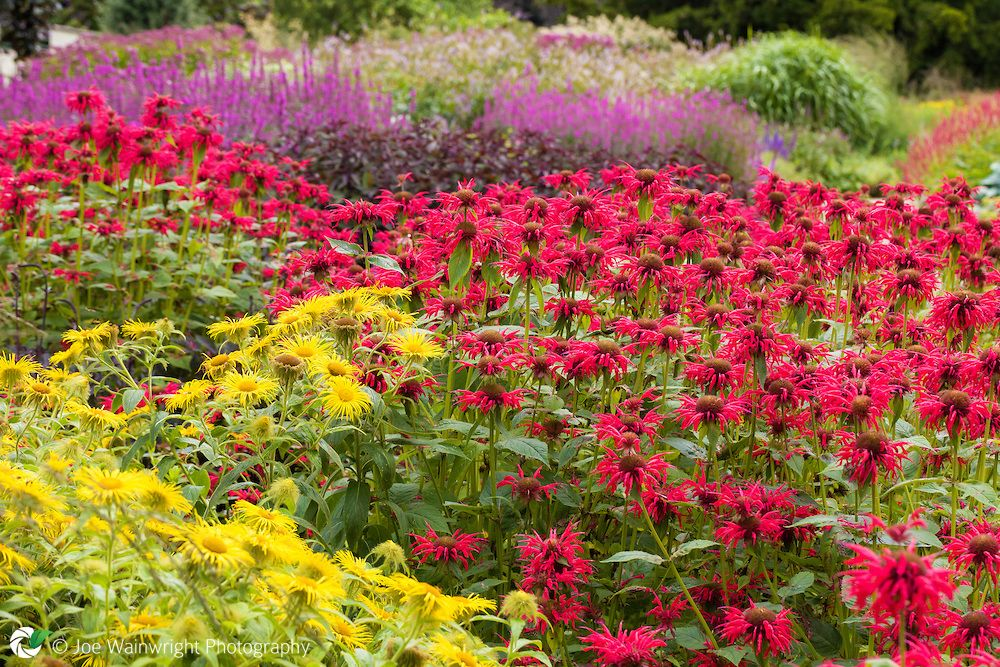 Inula hookeri and monarda in the Floral Labyrinth at Trentham Gardens, Staffordshire.