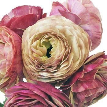 Raspberry Designer Japanese Ranunculus Flower - 20 stems