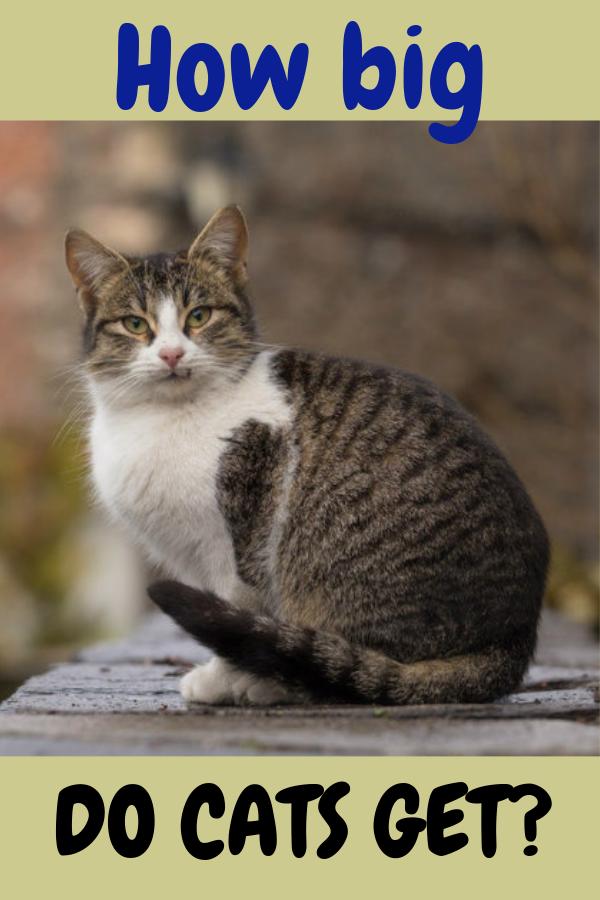 How Big Do Cats Get? Tabby cat, cats love, cats tabby