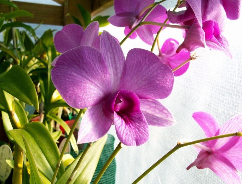 Dendrobium Bigibbum Var Compactum Beautiful Orchids Orchids Pink Flowers