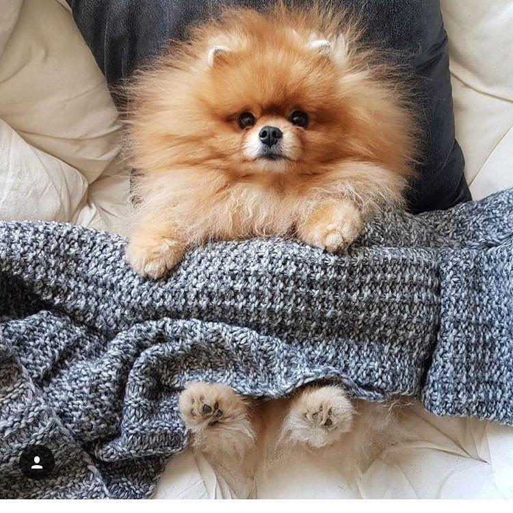 Resultado de imagen para Pomeranian pup pinterest