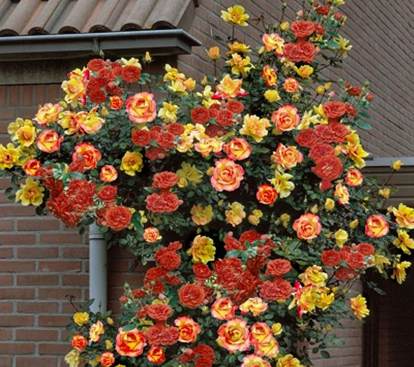 Spice Up Your Landscape With A Pinata Blooming In Shades