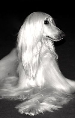 Afghan Hound Long White Hair Afghan Hound Dogs Most Beautiful Dogs