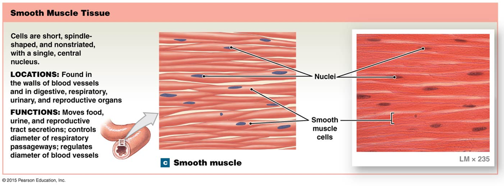 smooth muscle tissue anatomy and physiology diagrams pinterest rh pinterest com smooth tissue diagram Cardiac Muscle Tissue Diagram