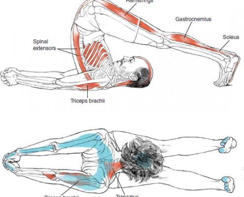 halasana  plow pose  postura del arado  yoga muscles