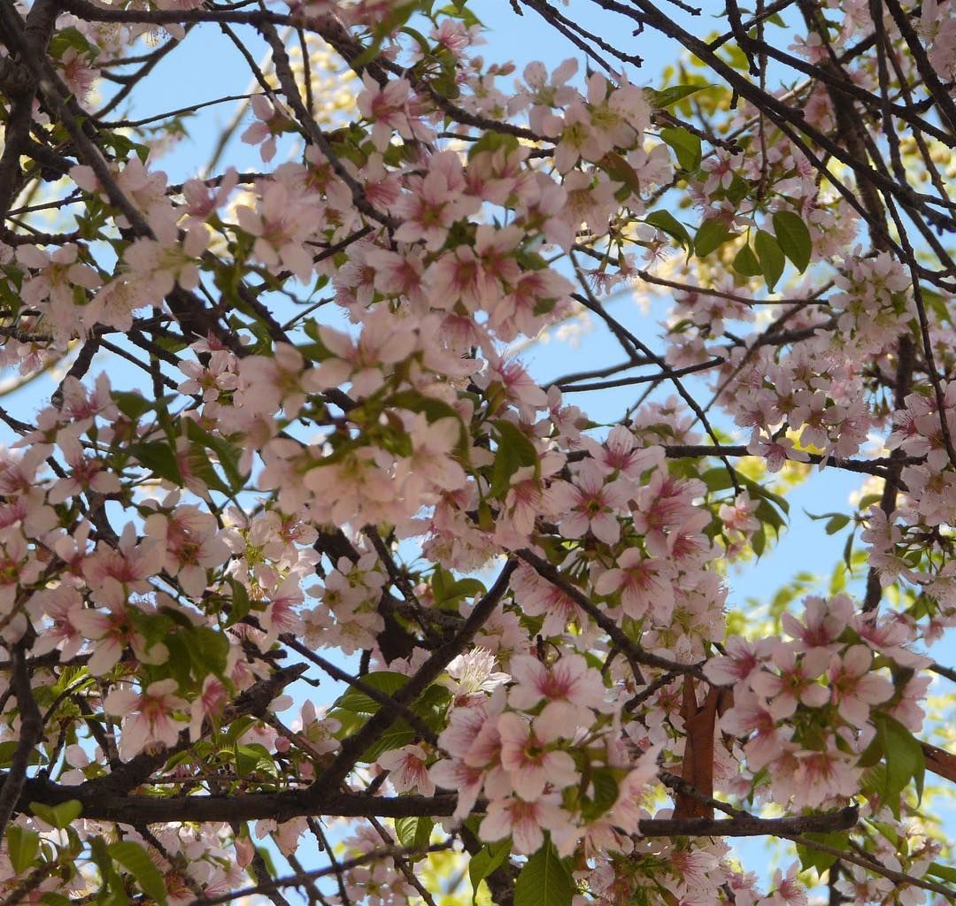 After Falling In These Beautiful Cherryblossom Trees In Dehradun We Have The Cherry Blossom Festival In