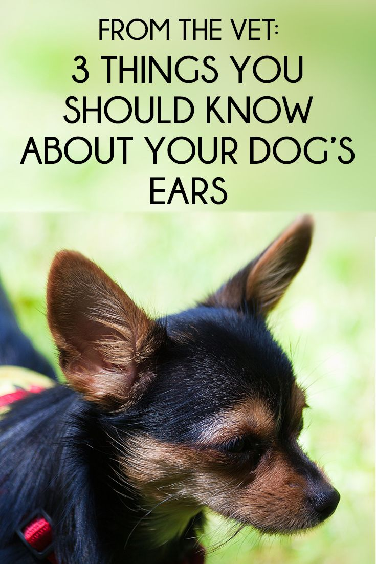 From The Vet 3 Things You Should Know About Your Dog S Ears