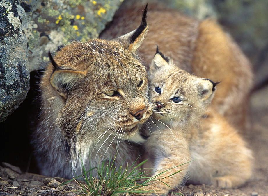 Image by Olga Artemova on Lynx Baby animals pictures