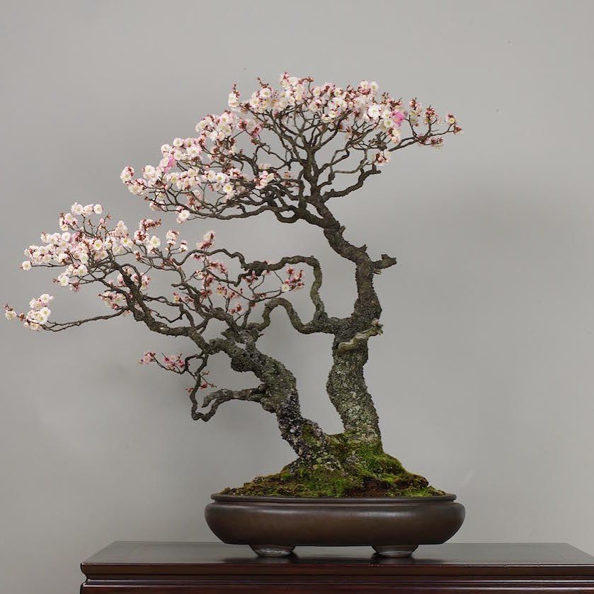 "prodeexotica: "" Omoi-no-mama (Japanese Apricot), photo by the Omiya Bonsai Art Museum. See: http://ift.tt/1TQqZej #bonsai #盆景 by bonsaiempire http://ift.tt/1X5EwS9 """