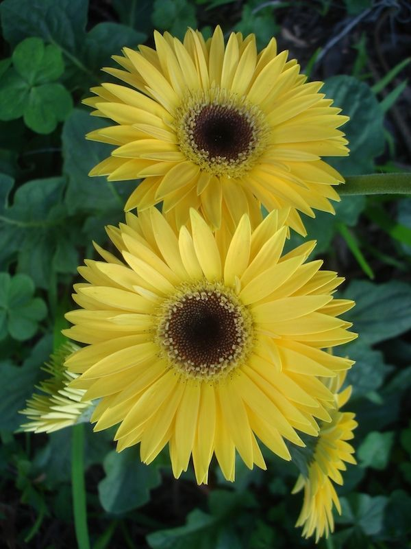 Yellow Gerbera Daisy With Black Center My Favorite Flower Flora Flowers Yellow Flowers Trees To Plant