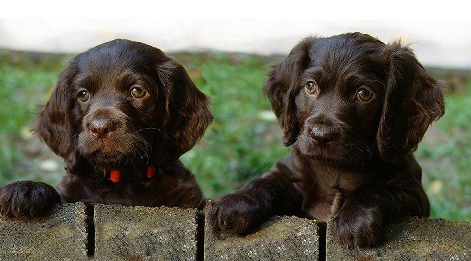 Two Boykin Spaniel Puppies Boykin Spaniel Puppies Boykin Spaniel Puppies