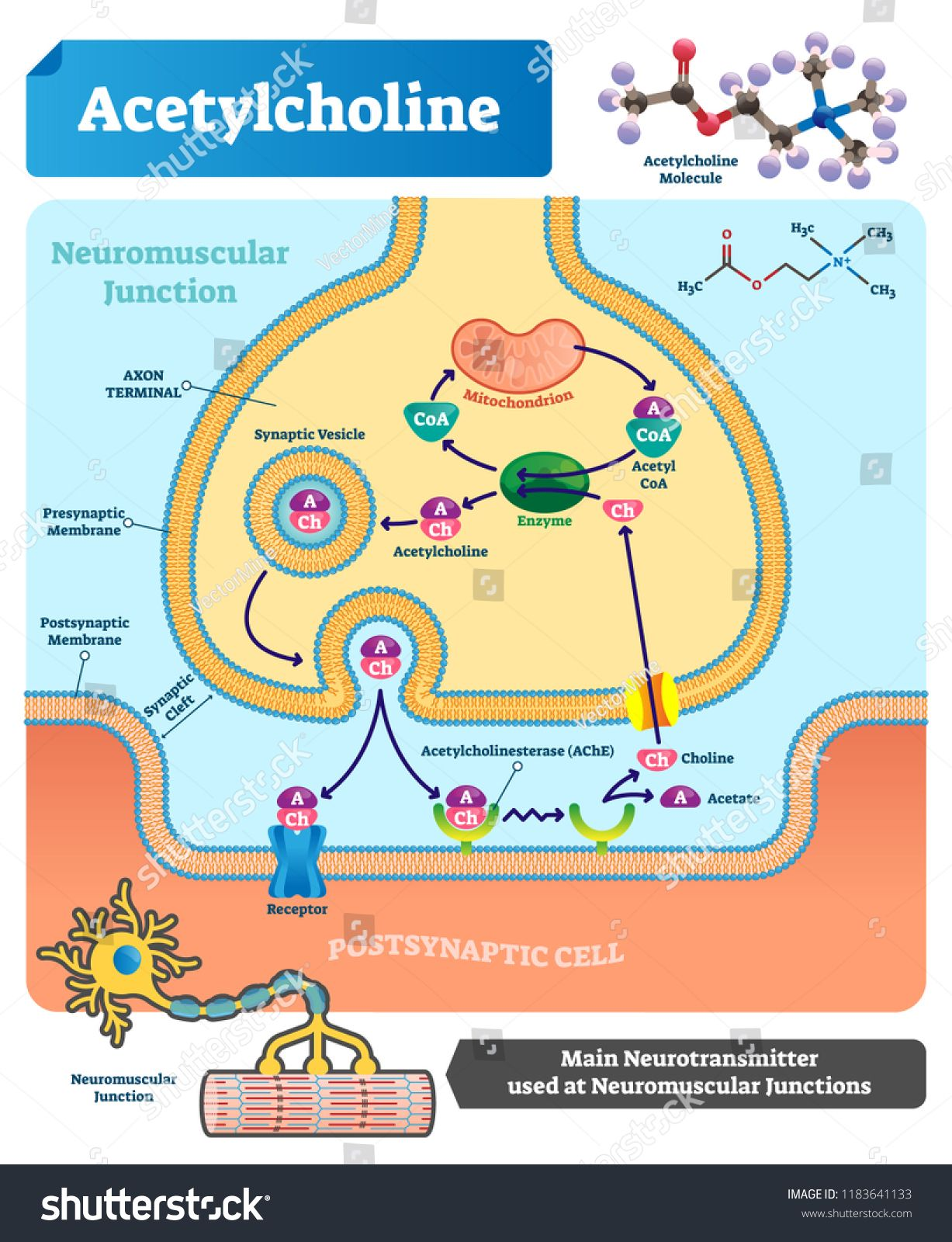 Acetylcholine Vector Illustration Labeled Scheme With Structure Of Neurotransmitter Neuromuscular Junction Acetylcholine Neuromuscular Junction Biochemistry