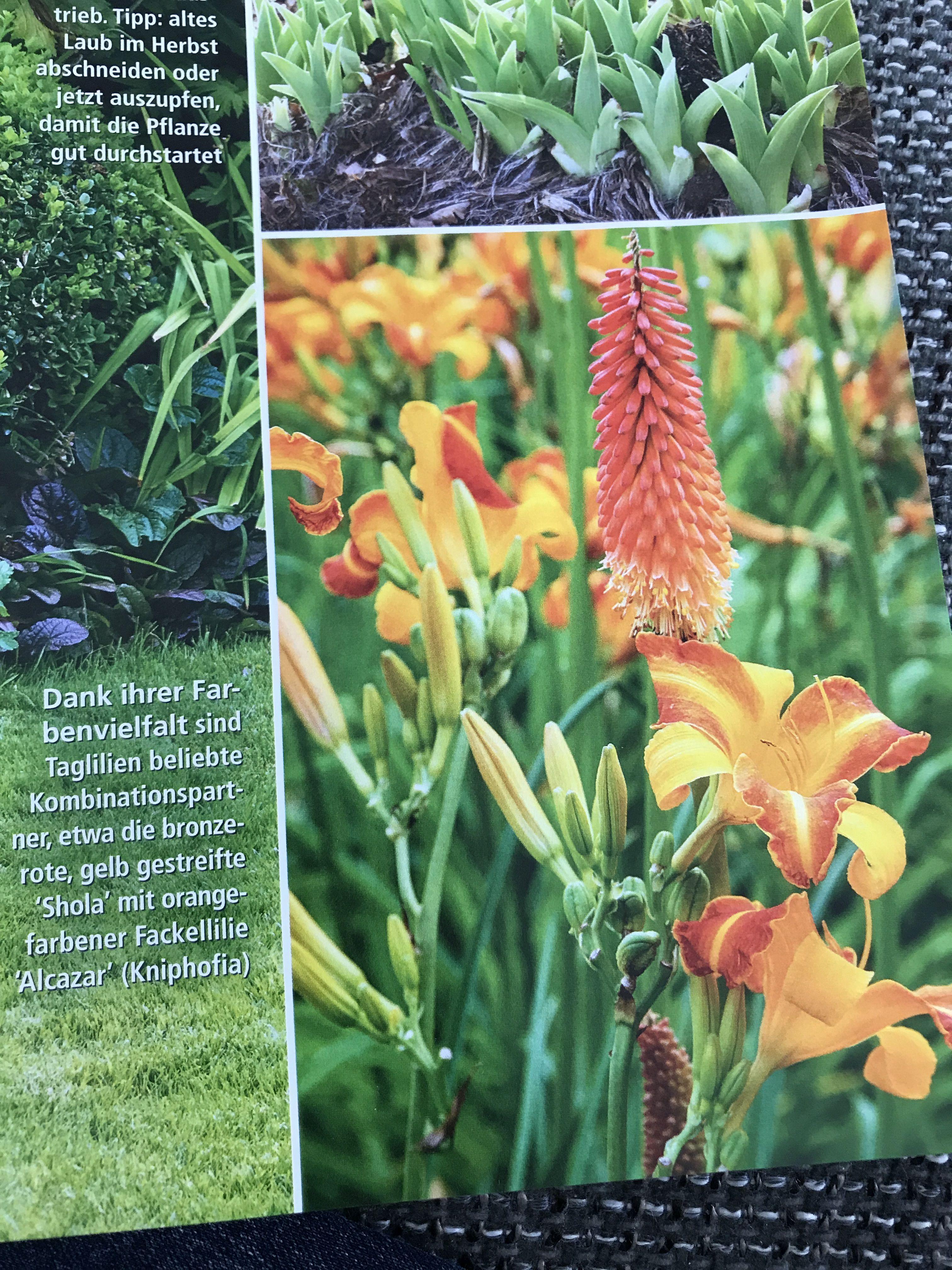 Taglilie Shola Gepaart Mit Fackellilie Alcazar Taglilien Fackellilie Pflanzen