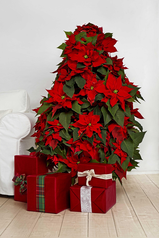 oh tannenbaum wie rot sind deine blätter der poinsettien