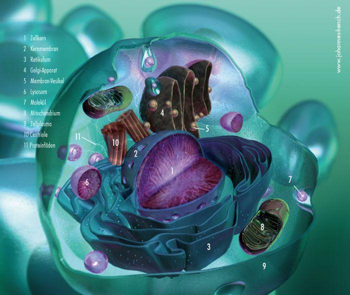 3D Grafik / Die Menschliche Zelle