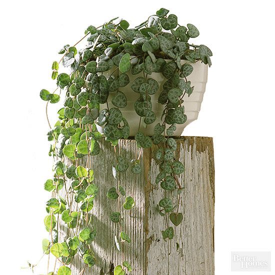 17 Drought Tolerant Houseplants You Can T Kill Hanging Plants Vine House Plants Hanging Plants Indoor