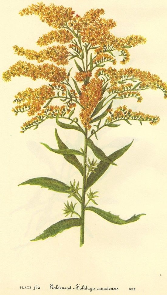 Vintage 1968 Color Print Wild Flowers Of By Naturalistcollection Goldenrod Flower Vintage Botanical