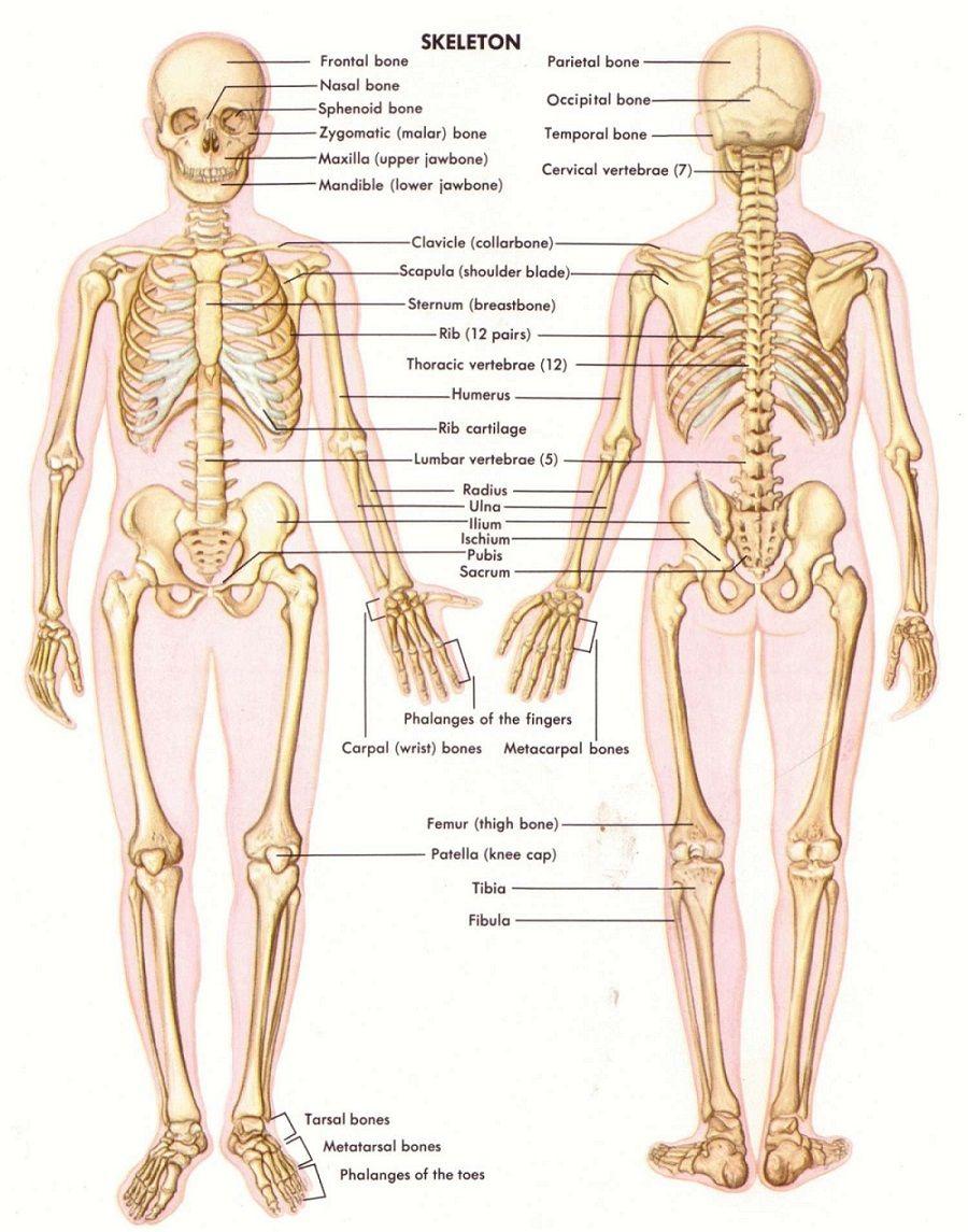 diagram of male skeleton pin by joseph blauner on skeletal system  with images  skeleton  skeletal system
