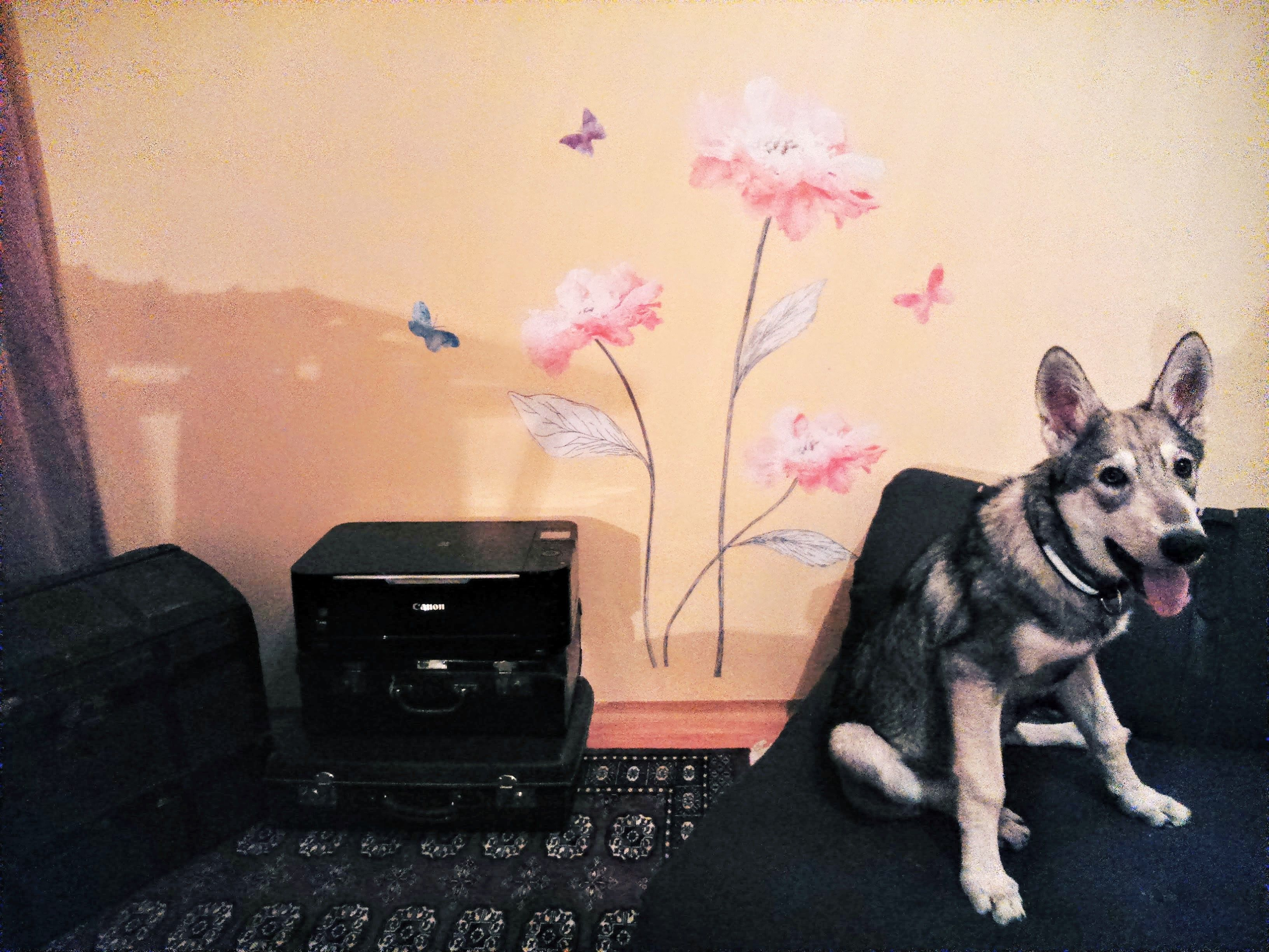 Tamaskan puppies for sale canada