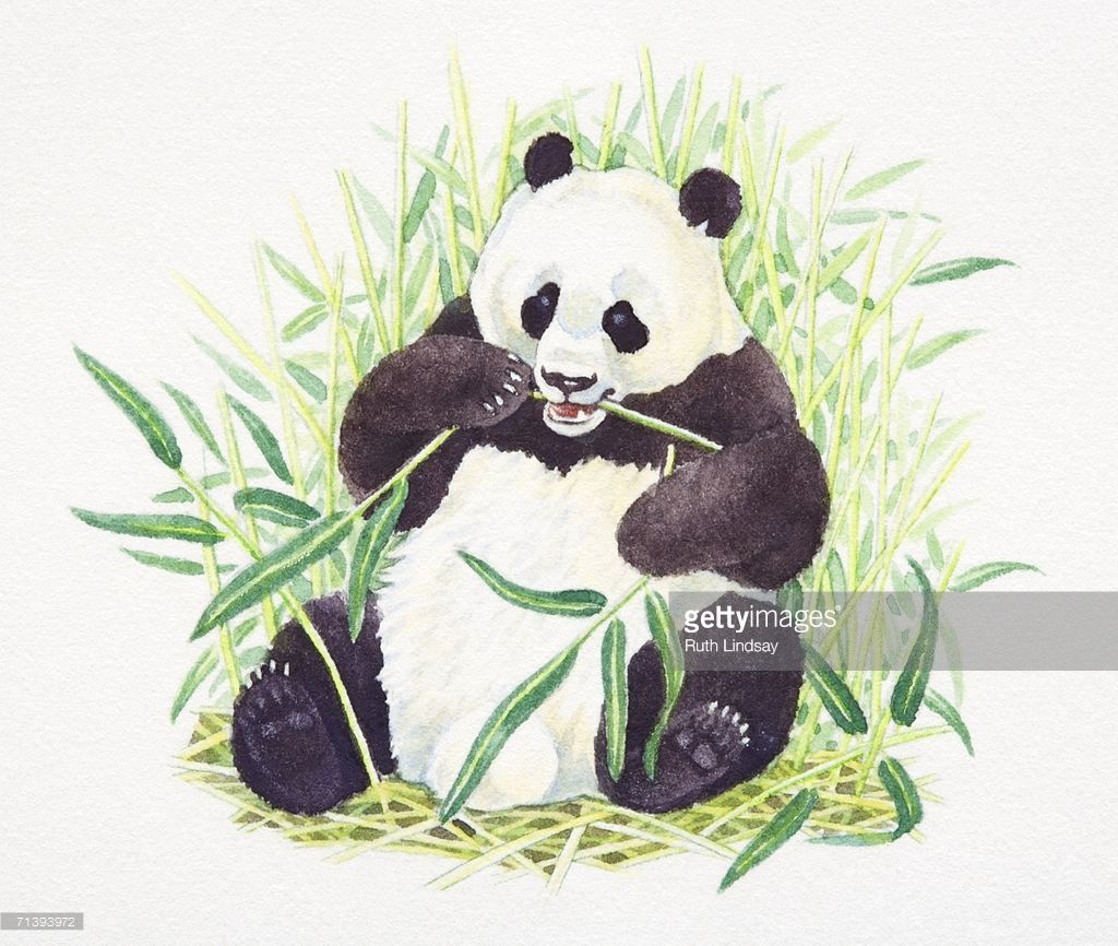 Sitting Giant Panda, Ailuropoda melanoleuca, eating bamboo