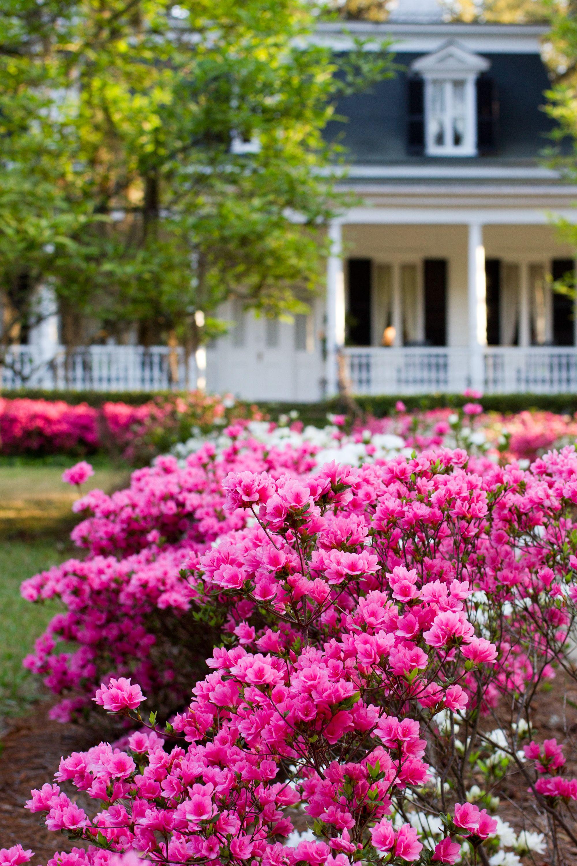 Azaleas in bloom! sweetsummerville Summerville