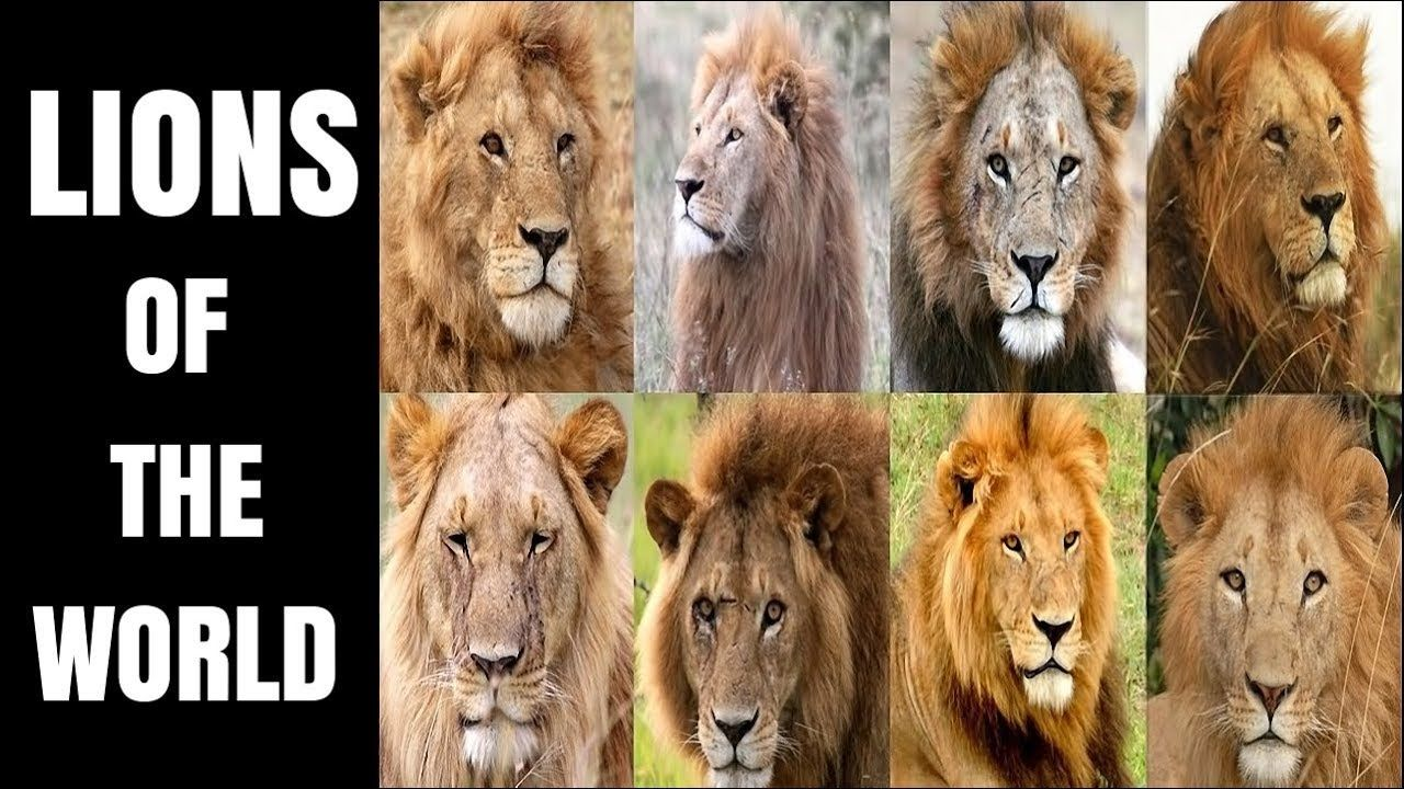 All (Former) Lion Subspecies African lion, Indian lion, Lion