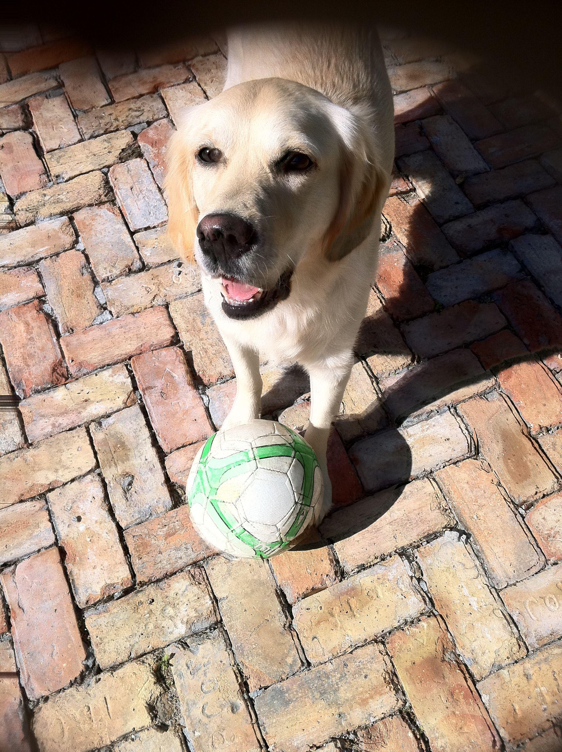 Nala My Soccer Player English Golden Retrievers Golden