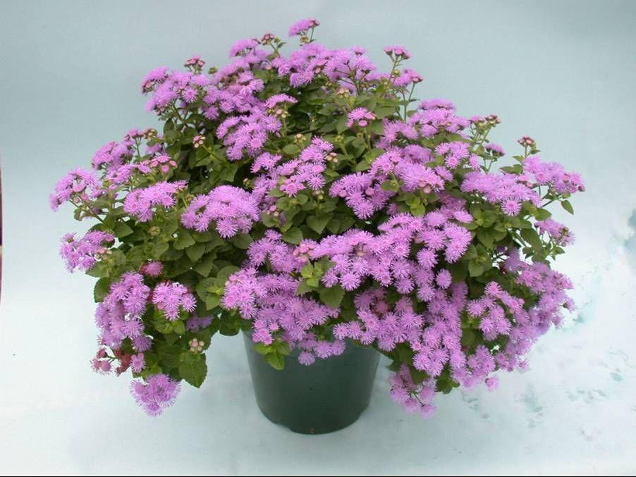 Ageratum Plant GF Ageratum common names Flossflower