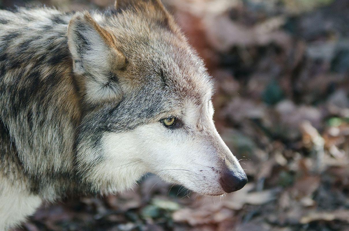 El Lobo Mexicano Está En Peligro De Extinción Lobo Mexicano