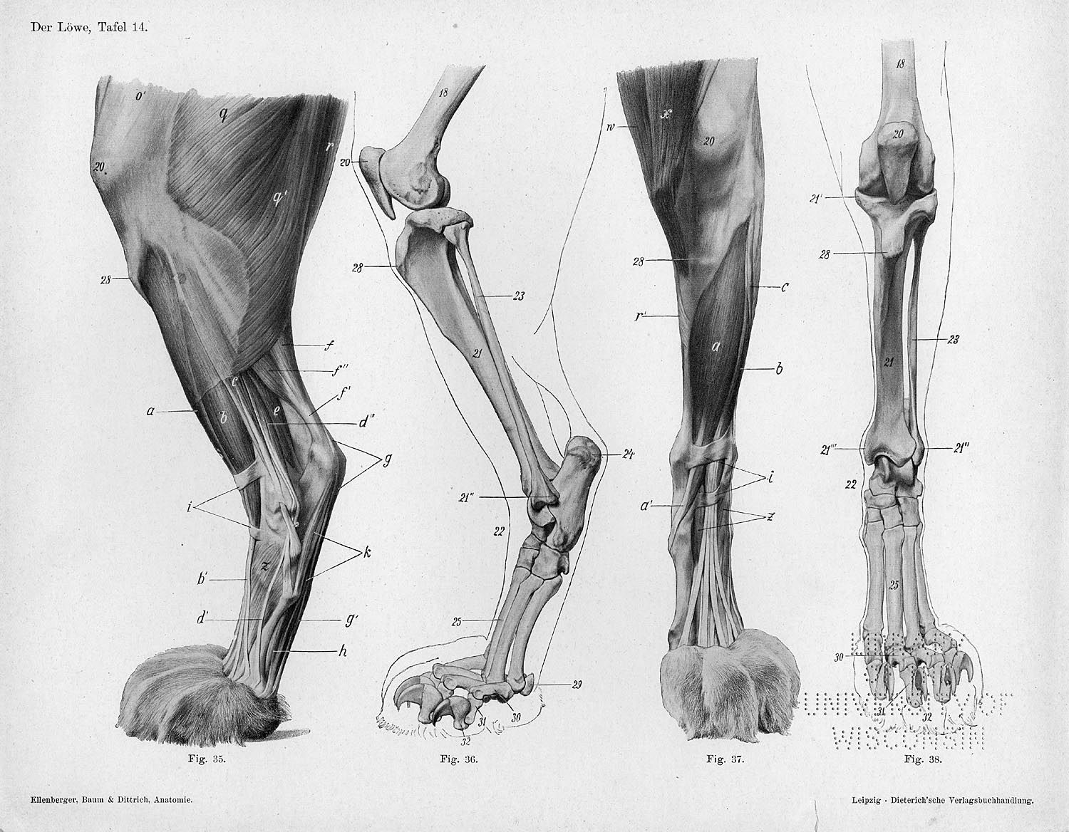 Dog Front Leg Bone Anatomy Animals Pinterest Anatomy Lion