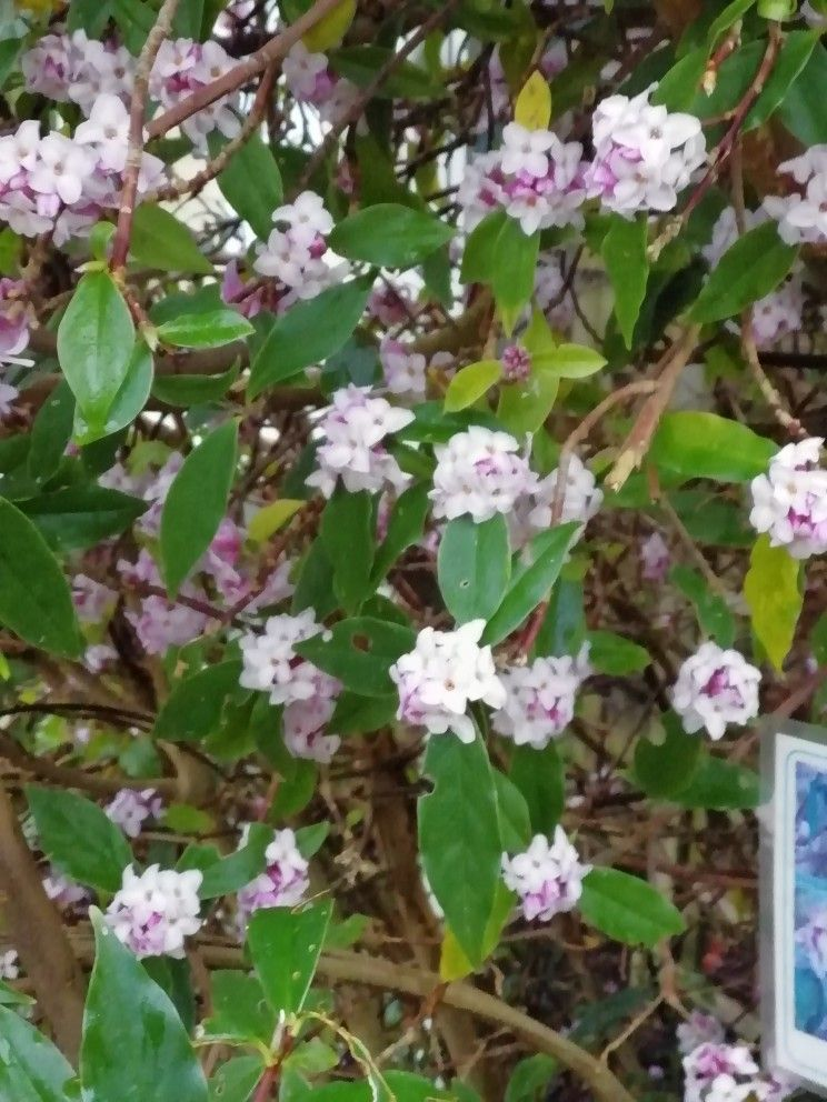 Must Have This Flowering In Uk In January Gorgeous Smell Daphne Bholua Daphne Bholua Flowers Plants